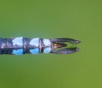 darner Green-striped Darner Aeshna verticalis Owl Avenue Sax-Zim Bog MN IMG_0763