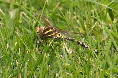 darner Lance-tipped Darner Aeshna constricta yellow form female Fond du Lac Duluth MN 277_7730
