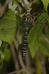 The thoracic side stripes on the Lance-tipped Darner (Aeshna constricta) are both wider at the top and slightly constricted [September 10; Fond du Lac, Duluth, MInnesota]