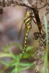darner Lance-tipped Darner green-form female Aeshna constricta Mission Creek Fond du Lac Duluth MN IMG_0574
