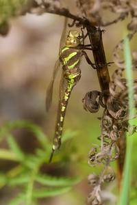darner Lance-tipped Darner green-form female Aeshna constricta Mission Creek Fond du Lac Duluth MN IMG_0577