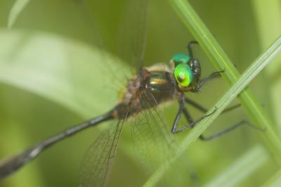 emerald Racket-tailed Emerald Dorocordulia libera St  Louis River Zim Landing Sax-Zim Bog MN IMG_2331