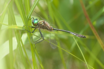 emerald Racket-tailed Emerald Dorocordulia libera St  Louis River Zim Landing Sax-Zim Bog MN IMG_2320