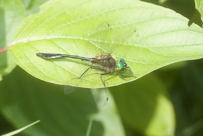 emerald Racket-tailed Emerald Dorocordulia libera St  Louis River Zim Landing Sax-Zim Bog MN IMG_2336