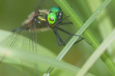 emerald Racket-tailed Emerald Dorocordulia libera St  Louis River Zim Landing Sax-Zim Bog MN IMG_2323