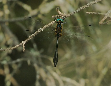 Racket-tailed Emerald (Dorocordulia libera) [June 14; Fond du Lac State Forest, Carlton County, Minnesota]