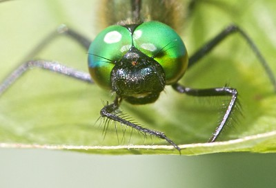 emerald Racket-tailed Emerald Dorocordulia libera St  Louis River Zim Landing Sax-Zim Bog MN IMG_2338