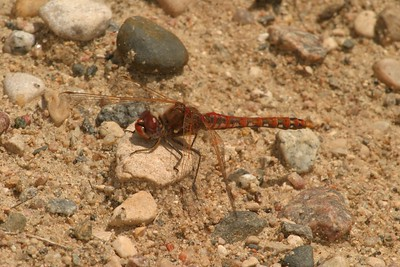 The Variegated Meadowhawk (Sympetrum corruptum) make northward and eastward migrations every summer [June 14; Douglas County, Minnesota]