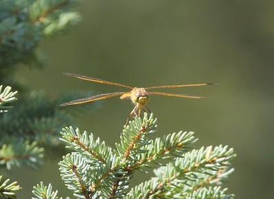 meadowhawk Saffron-winged Meadowhawk female Sympetrum costiferum Bog Boardwalk Wanless Road Superior National Forest Lake Co MN IMG_9957