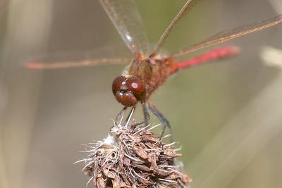 meadowhawk Saffron-winged Meadowhawk Sympetrum costiferum male Admiral Road gravel pit Sax-Zim Bog MN IMG_0239