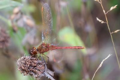 meadowhawk Saffron-winged Meadowhawk Sympetrum costiferum male Admiral Road gravel pit Sax-Zim Bog MN IMG_0260