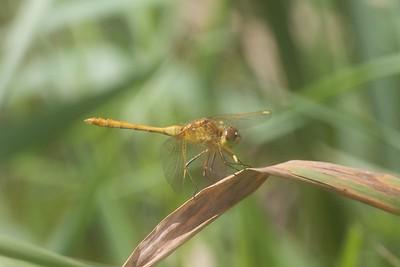 meadowhawk Saffron-winged Meadowhawk Sympetrum costiferum Kimmes-Tobin Wetlands Douglas Co WI IMG_8794