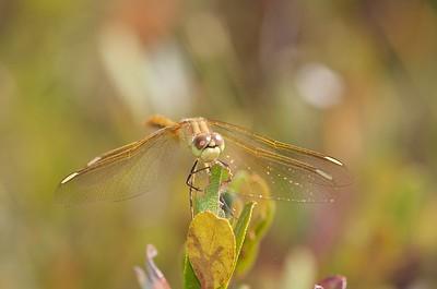 Female Saffron-winged Meadowhawk (Sympetrum costiferum) in a leatherleaf bog [August 26; Bog on Jay West Road, Carlton County, MInnesota]