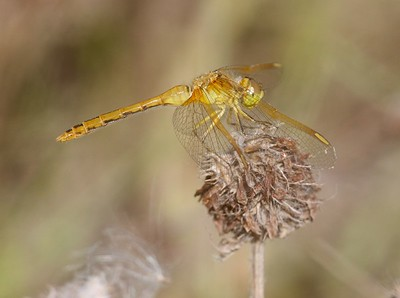 meadowhawk Saffron-winged Meadowhawk female Sympetrum costiferum Admiral Road gravel pit Sax-Zim Bog MN IMG_0404