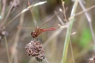 meadowhawk Saffron-winged Meadowhawk Sympetrum costiferum male Admiral Road gravel pit Sax-Zim Bog MN IMG_0247