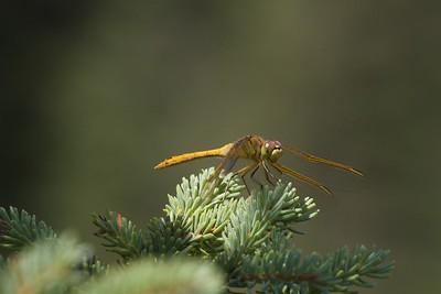 meadowhawk Saffron-winged Meadowhawk female Sympetrum costiferum Bog Boardwalk Wanless Road Superior National Forest Lake Co MN IMG_9986