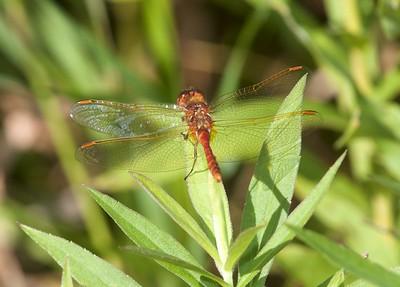 meadowhawk Saffron-winged Meadowhawk male Sympetrum costiferum Kimmes-Tobin Wetlands Douglas Co WI IMG_8696