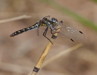 meadowhawk Black Meadowhawk Sympetrum danae female Wisconsin Point Superior WI IMG_8428