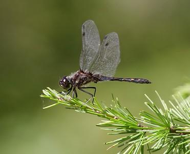 meadowhawk Black Meadowhawk Sympetrum danae male Stensaas Street Toivola Swamp Sax-Zim Bog MN IMG_9178