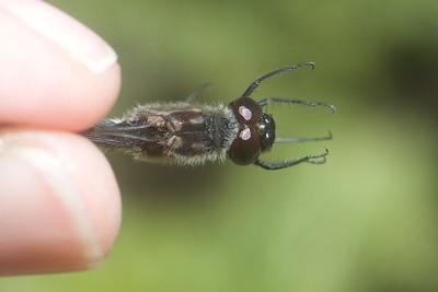 meadowhawk Black Meadowhawk Sympetrum danae male Stensaas Street Toivola Swamp Sax-Zim Bog MN IMG_9127