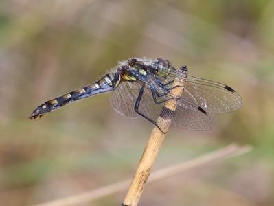 meadowhawk Black Meadowhawk Sympetrum danae female Wisconsin Point Superior WI IMG_8430