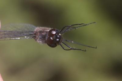 meadowhawk Black Meadowhawk Sympetrum danae male Stensaas Street Toivola Swamp Sax-Zim Bog MN IMG_9121