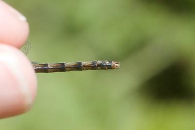 meadowhawk Black Meadowhawk Sympetrum danae female Stensaas Street Toivola Swamp Sax-Zim Bog MN IMG_9162