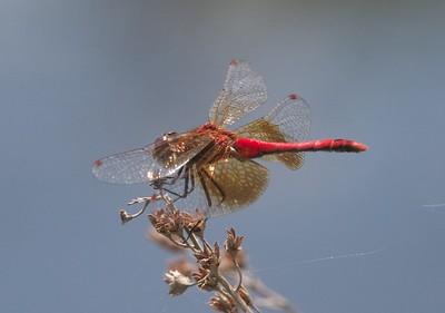 meadowhawk Band-winged Meadowhawk Sympetrum semicinctum Stone Lake Road Sax-Zim Bog MN IMG_7151