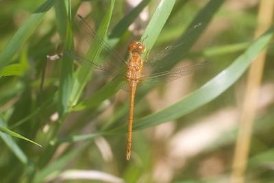 meadowhawk Autumn Meadowhawk juvenile male Sympetrum vicinum Kimmes-Tobin Wetlands Douglas Co WI IMG_8792