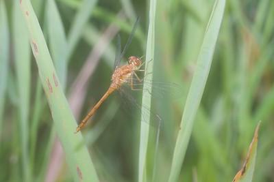 meadowhawk Autumn Meadowhawk juvenile male Sympetrum vicinum Kimmes-Tobin Wetlands Douglas Co WI IMG_8770