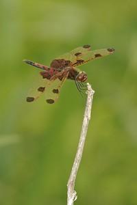 Calico Pennant (Celithemis elisa) [June 27; Hubbard County, Minnesota]