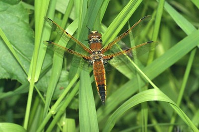 Four-spotted Skimmer (Libellula quadrimaculata) [June 8; Douglas County, Minnesota]