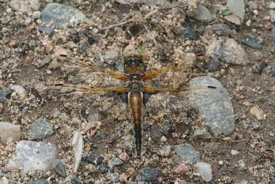 skimmer Four-spotted Skimmer Libellula quadrimaculata Itasca Co MN IMG_0145