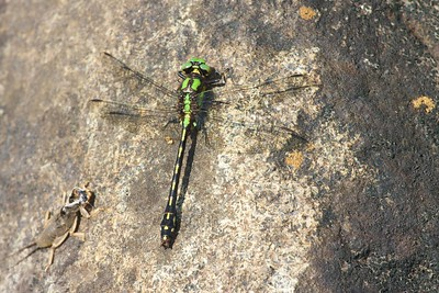 Boundary Waters, BWCAW, Cook County, Cross River, dragonfly, Minnesota, Ophiogomphus carolus, Riffle Snaketail, snaketail, Superior National Forest
