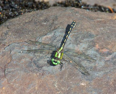 The Riffle Snaketail (Ophiogomphus carolus) needs small, swift, clear streams with rocks, sandy bottoms and riffles! [July 7; Cross River, Gunflint Trail, Cook County, Minnesota]