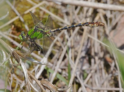 Boreal Snaketail (Ophiogomphus colubrinus) [July 6; Brule River, Superior National Forest, Cook County, Minnesota]