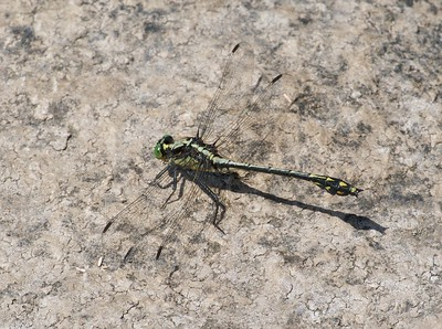 Black-shouldered Spinyleg (male Dromogomphus spinosus) [July 14; Moosehorn River, Carlton County, Minnesota]