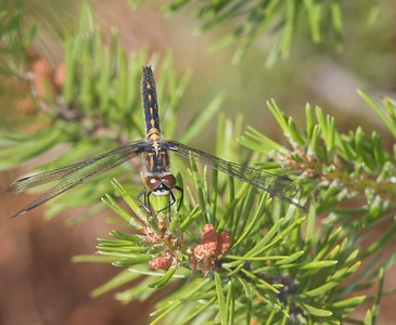 whiteface Belted Whiteface Leucorrhinia proxima Cook Co MN IMG_0009449