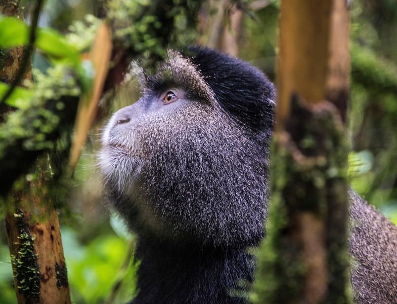 Golden Monkey-DSC_0563