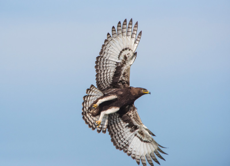 African-Crested-Eagle-in-flight-GOR_1134