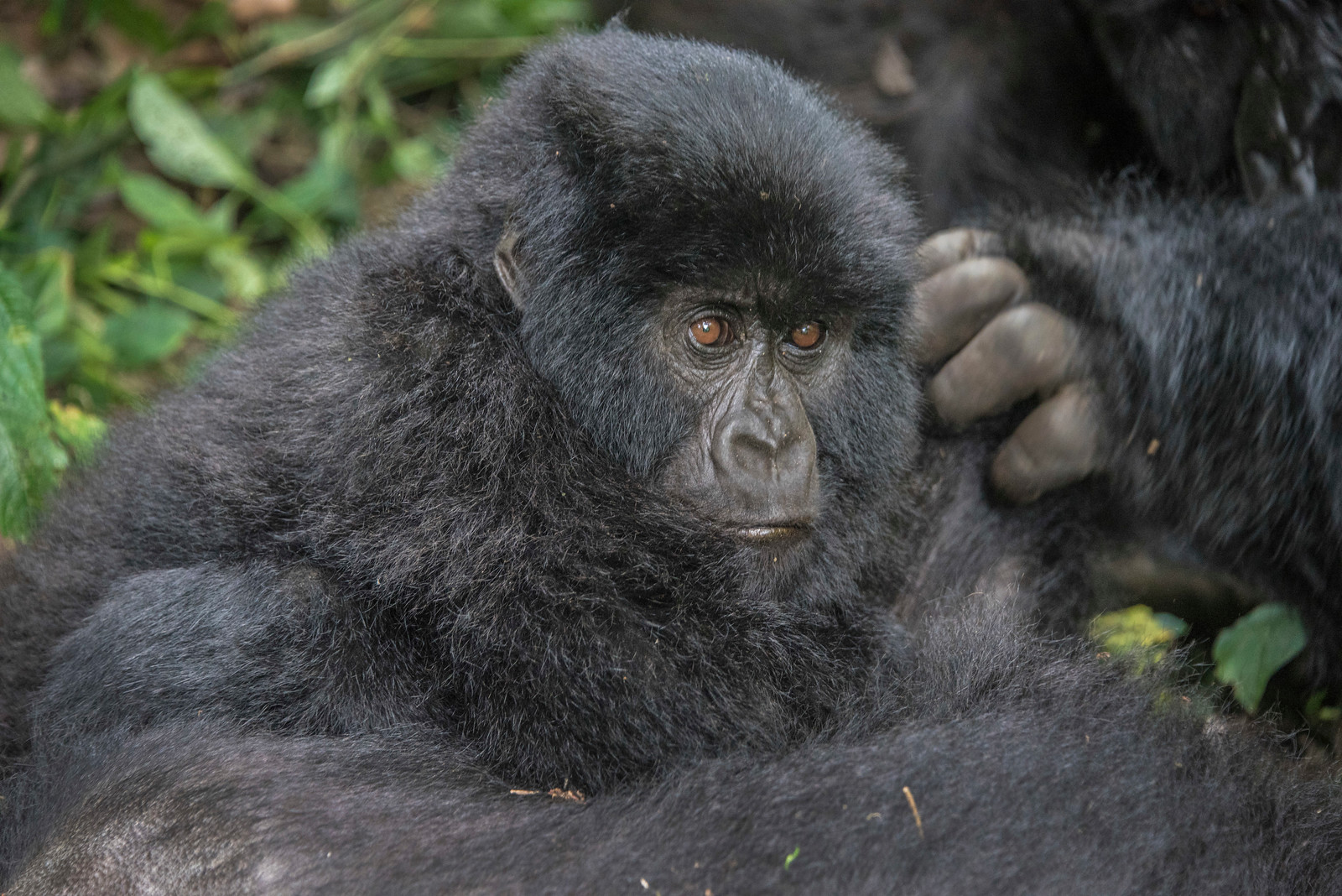 Gorilla-in-thought-GOR_0326