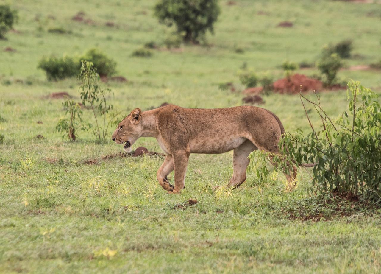 Lioness_Hunting-giraffes-GOR_1519