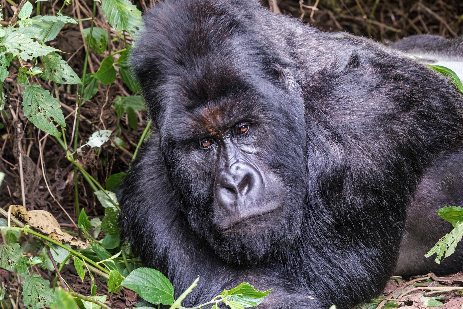 Humba-silverback-Mtn-Gorilla-GOR_0553