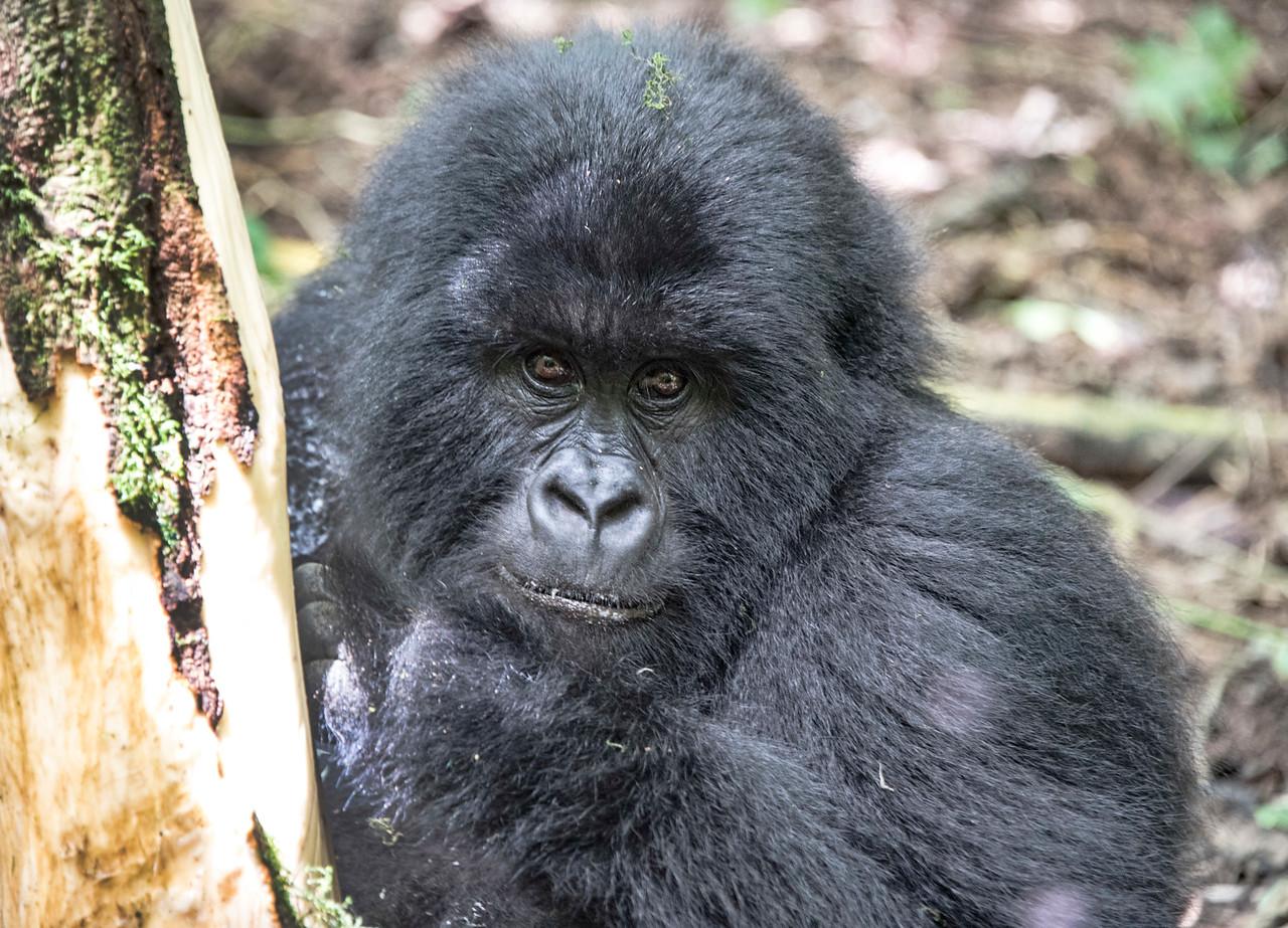 gorilla-eating-tree-bark_GOR_0522