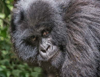 Close-up-gorilla-GOR_0146