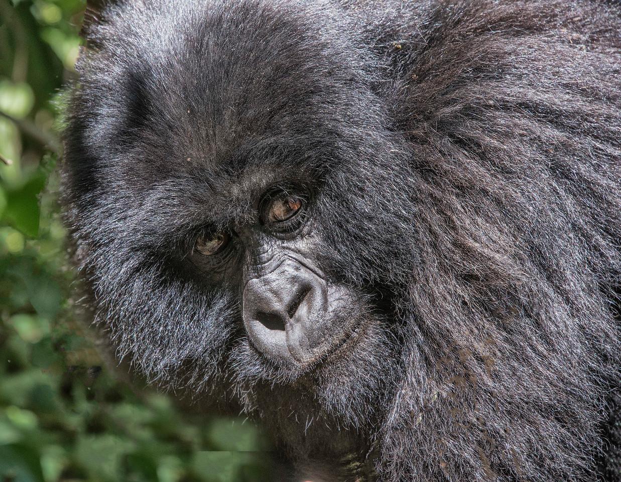 Close-up-gorilla-GOR_0146