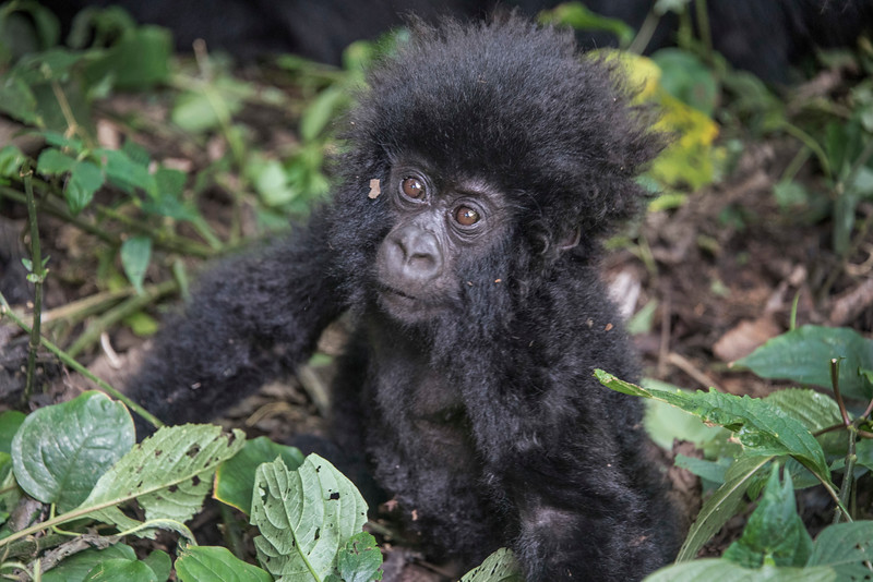 Baby-Gorilla-GOR_0268