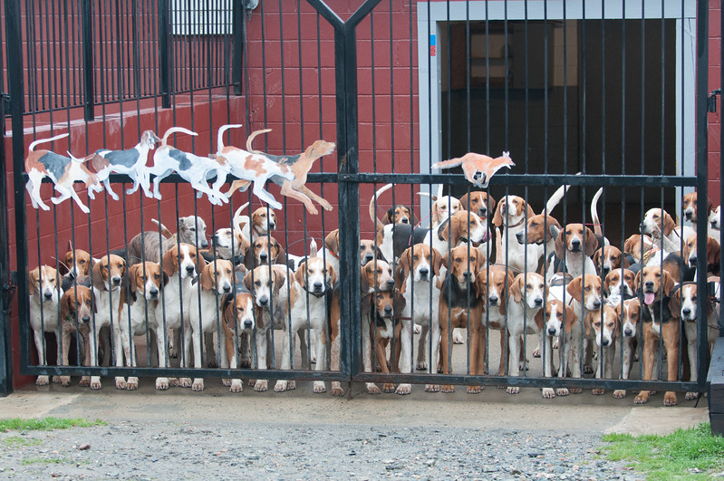 Radio Collars in place, selected hounds are ready to hunt from their Cumberland Kennels