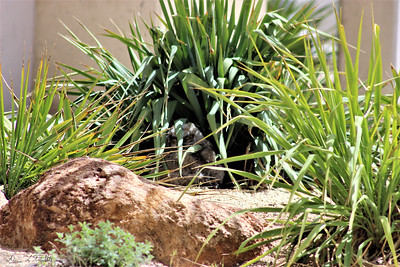 Washoe hiding in the bushes