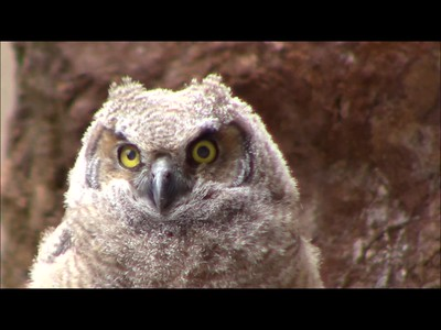 Washoe Owlet 5/13/18 (1/2 speed)